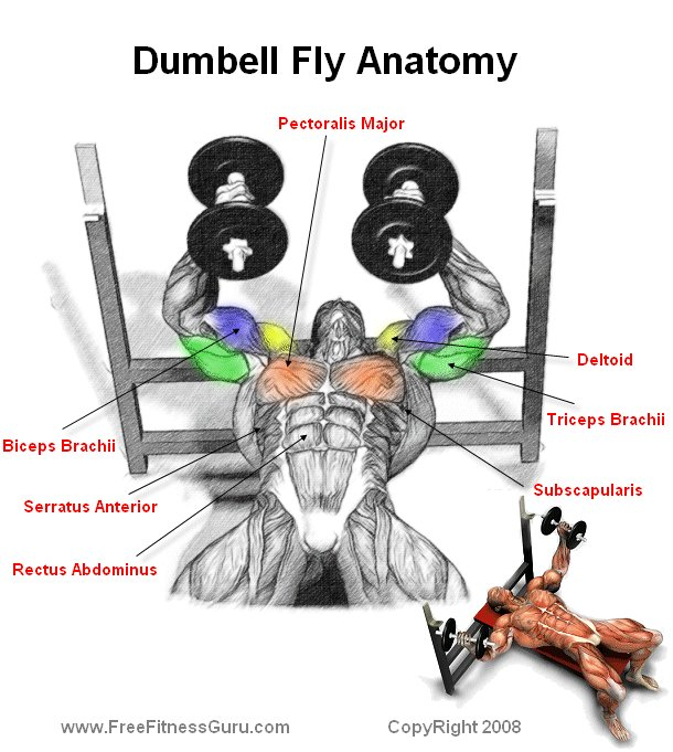 Body Building Anatomy > Chest Exercises >Dumbell Fly Anatomy