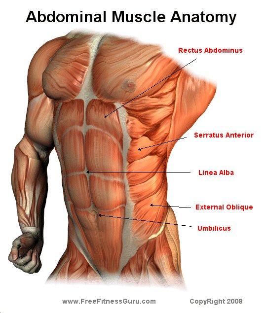 FreeFitnessGuru - Abdominal Anatomy