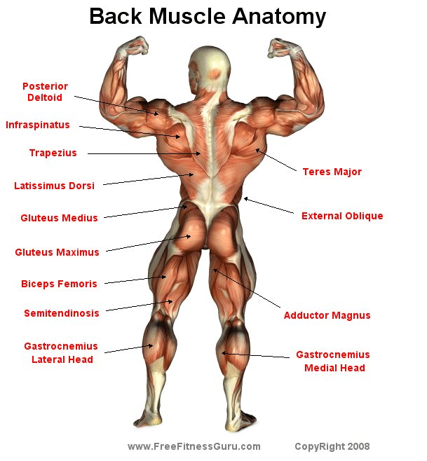 FreeFitnessGuru - Back Male Physique