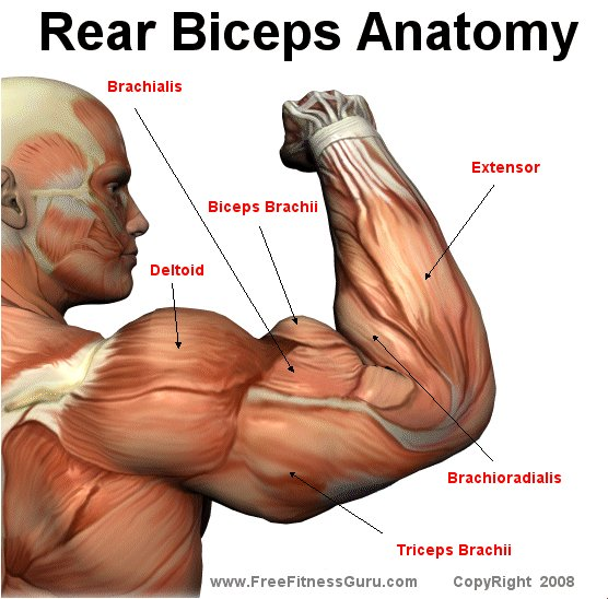 Freefitnessguru rear bicep anatomy for Exterieur biceps