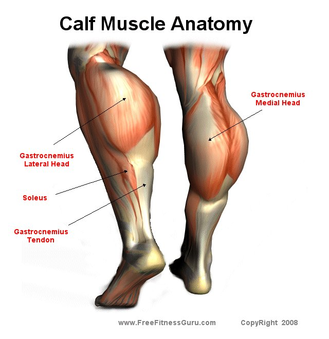 FreeFitnessGuru - Calf Muscle Anatomy