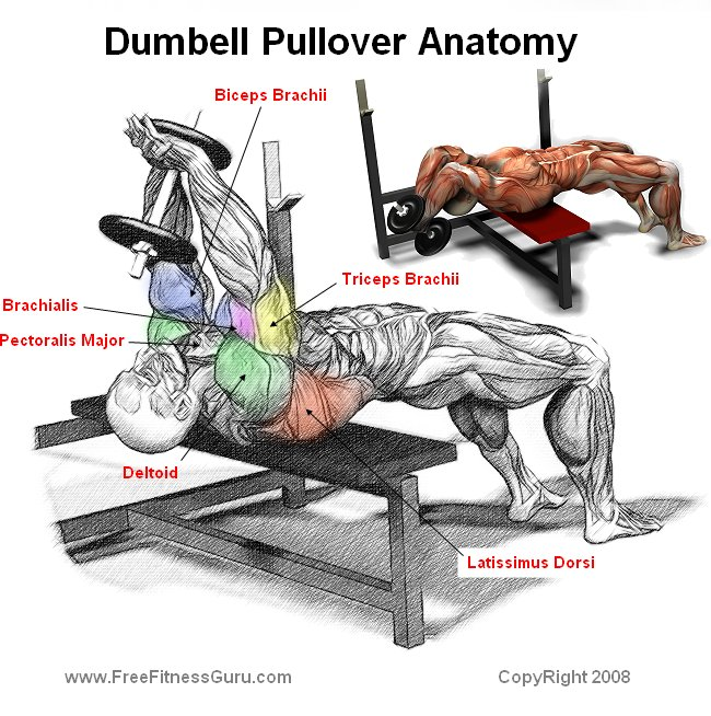Pull Over Gym : Freefitnessguru dumbell pullover anatomy
