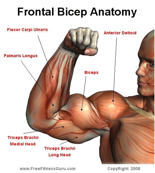 FreeFitnessGuru - Bicep front Anatomy