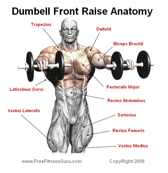 FreeFitnessGuru - Dumbell Front Raise Anatomy