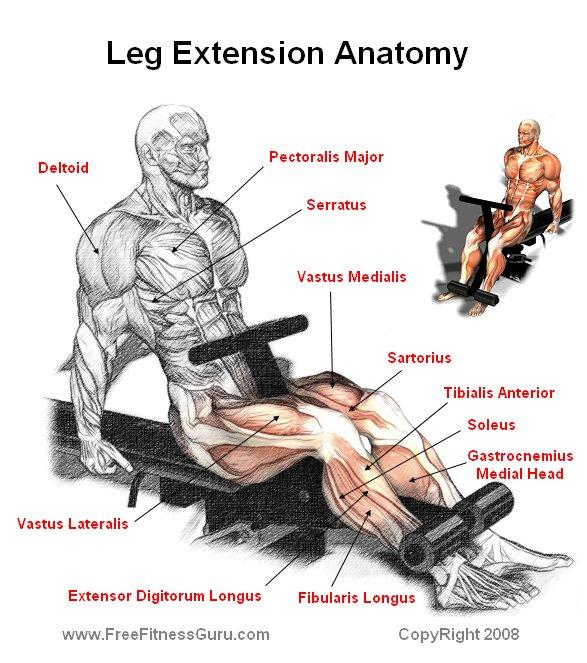FreeFitnessGuru - Leg Extension Anatomy