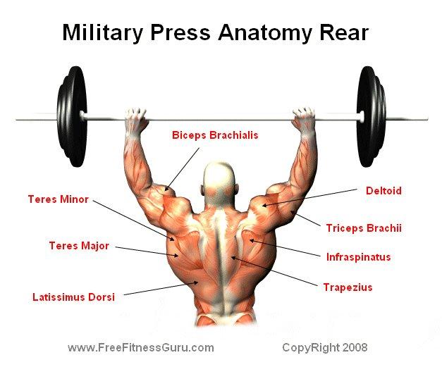 FreeFitnessGuru - Rear View Military Press Anatomy