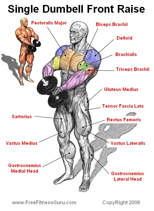 FreeFitnessGuru - Single Dumbell Front Raise Anatomy