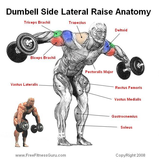 FreeFitnessGuru - Dumbell Side Lateral Raise Anatomy