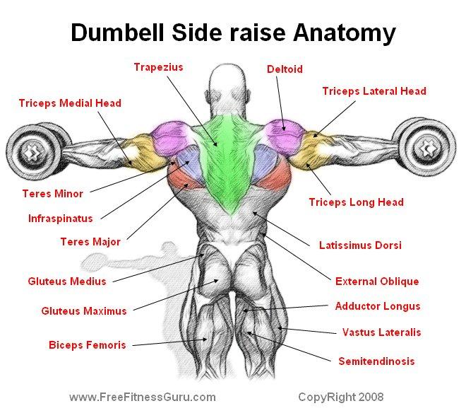 FreeFitnessGuru - Dumbell Side Raise Anatomy