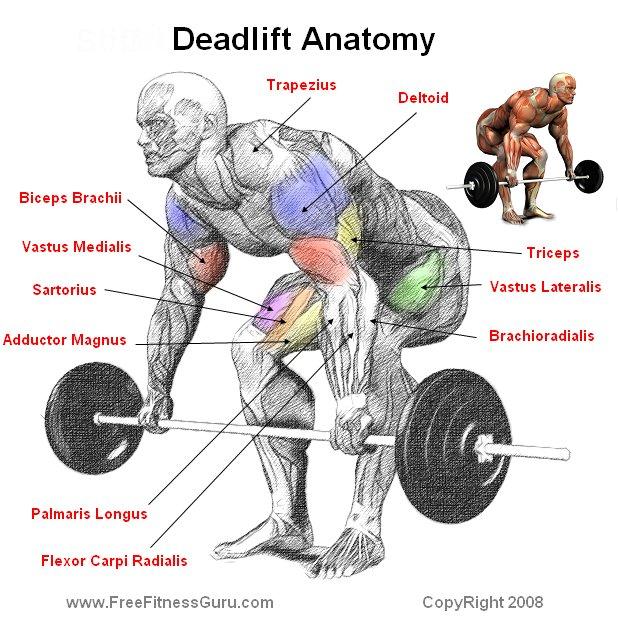 FreeFitnessGuru - Deadlift Anatomy