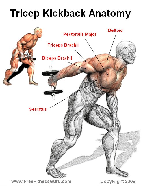 FreeFitnessGuru - Tricep Kickback Anatomy