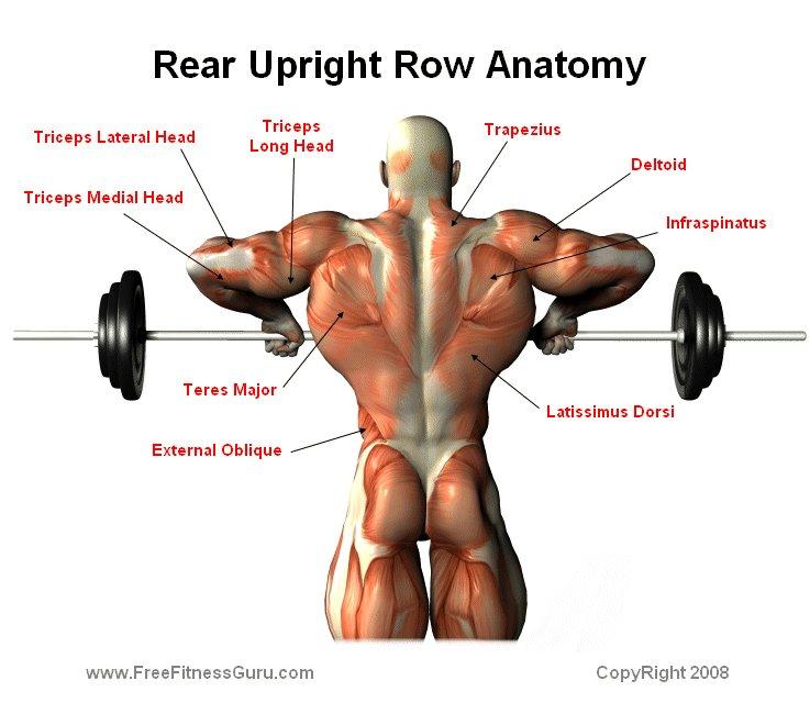 Freefitnessguru Upright Barbell Row Anatomy Rear