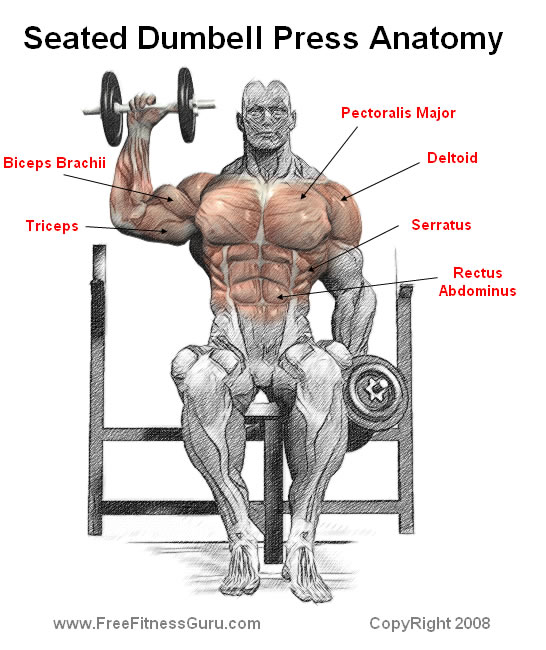 seated dumbell press anatomy